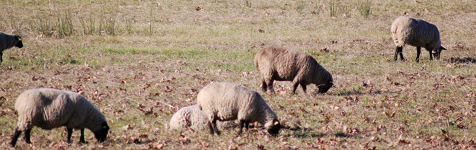 moutons1600x504-1